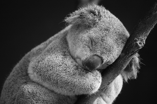 OH GOD LOOK AT THE ADORABLE SLEEPING KOALA